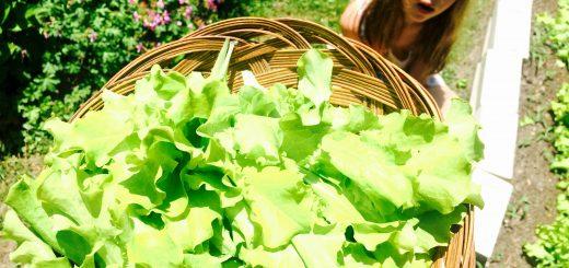 Fresh garden lettuce, hand picked by my trusty helper