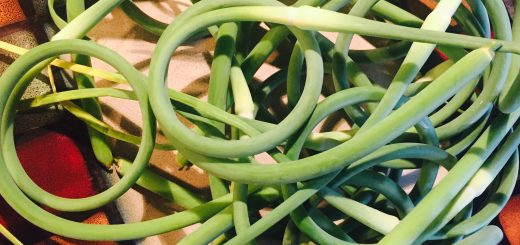 Intriguing garlic scapes ready from some intrepid culinary adventure